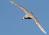 Glaucous Gull (Larus hyperboreus) - vittrut