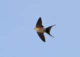Red-rumped Swallow (Cecropis daurica) - rostgumpsvala