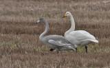 Whooper Swan - juv. and ad. - Sangsvane - Cyfnus cygnus