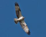 Osprey - Fiskeørn - Pandion haliatos