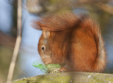 Red Squirrel - Egern - Sciurus vulgaris