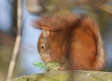 Red Squirrel - Egern - Sciurus vulgaris