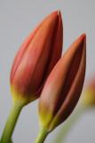 15 January: Tulips