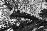 20 January: Snowy Log