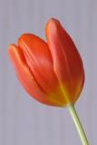 22 January: Tulip