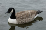 28 January: Canada Goose