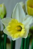 13 February: Daffodil