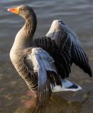 18 February: Grey Lag Goose