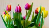 21 March: Rainbow Tulips
