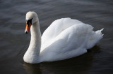 31 March: Swan