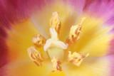 8 April: Tulip