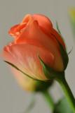 22 April: Roses