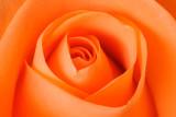 24 April: Rose