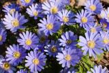 30 April: Anemones