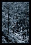 Simphonious Forest