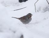 Fox Sparrow, Rävsparv, Passerella illaca