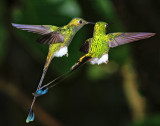 Booted Racket-Tails