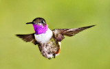 Purple Throated Woodstar