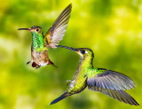 Rufous Tailed and Green Crowned Brilliant
