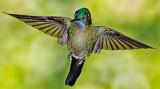 Green-crowned Brilliant (Heliodoxa jacula)