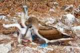 Blue Footed Booby Family + Fish