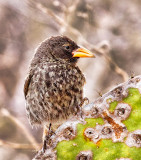 Small Cactus Finch (Geospiza scandens)