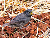 Small Ground Finch - Male  (Geospiza fuliginosa)