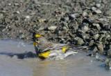 Warbler Bath
