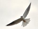 White-tailed Kite Stare