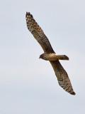 Northern Harrier Spread