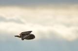 Short-eared Owl Wings Down