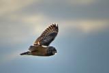 Short-eared Owl Flying By