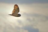 Short-eared Owl Wings Up