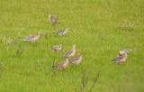 Many Long-billed Curlews