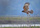 Red-tail Flying Away
