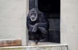 Old Chimp in Doorway