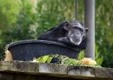 A Barrel of Monkey. . . Okay, A Bucket of Chimp