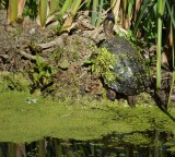 Mossy Turtle