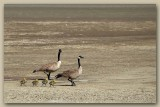 A Family of Canada Geese