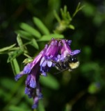 Bee and Beetle on Vetch