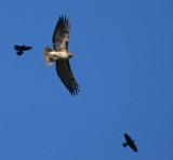 Red-tailed Hawk Harrassed by Blackbirds