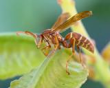 Waiting Wasp