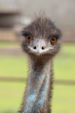 Emu Upclose