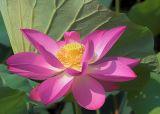 Lotus in full Bloom