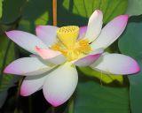 Lotus Wide Open