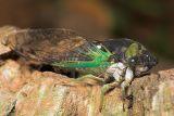 Colorful Cicada
