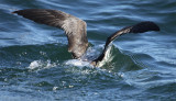 ...or is it water off a shearwater's back?
