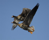 Greater White-fronted Geese in Flight - Colusa NWR