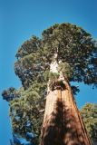 giant sequoia paper.jpg