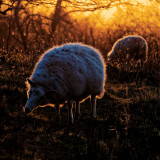 radioactive sheep 1
